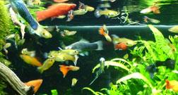 Hoeveel vissen in aquarium