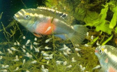 Veel jonge baby visjes