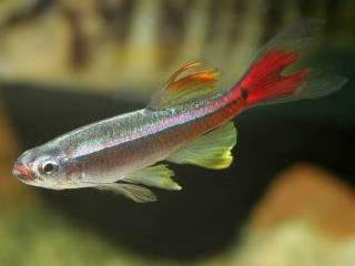 Chinese Danio is een prachtige niet veeleisende beginnersvis