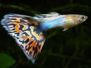 Guppy beginners vissen aquarium