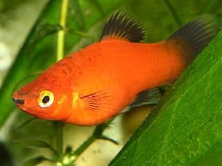 Platy of plaatjes tropische zoetwateraquarium vissen