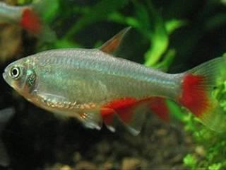 Roodvinzalm geschikte vissen voor beginners aquarium