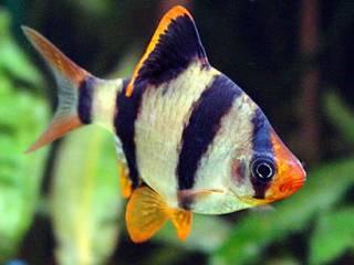 Sumatraan - Puntius Tetrazona stellen weinig eisen aan waterwaardes