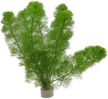 Cabomba plant waarvan stengel giftig is