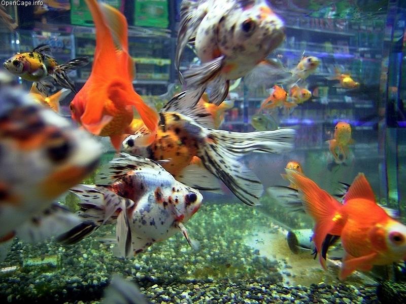 Aquarium met mooie grote goudvissen