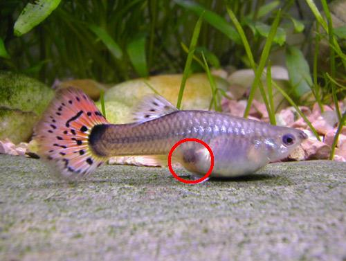 Guppies zijn levendbarenden for How long do fish stay pregnant