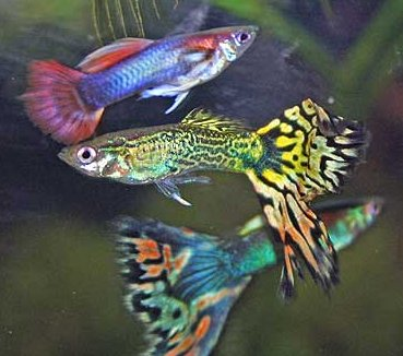 Siervis guppies
