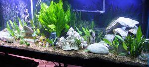 Aquarium moederplant