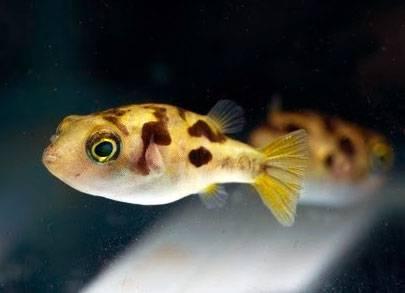 Kogelvissen zijn slakkeneters