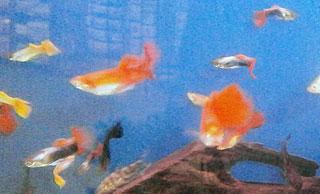 Guppies aquarium