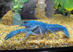 Grote kreeften in aquarium