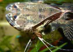 Zoetwater vlindervissen