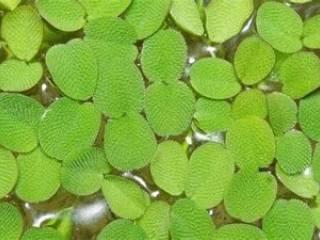 Salvinia - Aquarium planten
