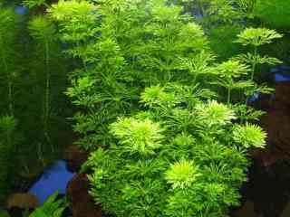 Limnophila heterophylla - Aquarium planten