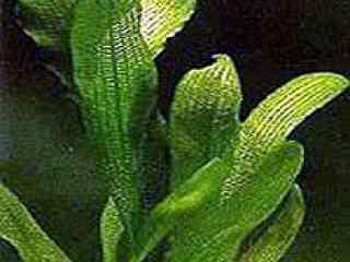 Smalbladige gaasplant - Aquarium planten