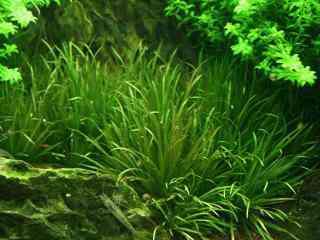 Blyxa japonica - Aquarium planten