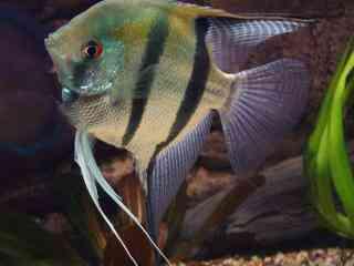 Maanvis - Aquarium vissen