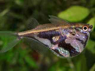 Marmerbijlzalm - Aquarium vissen