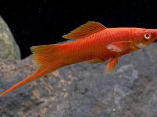 Zwaarddrager - Aquarium vissen