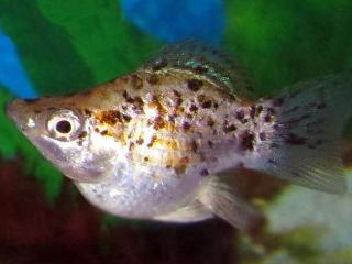 Ballon molly - Aquarium vissen
