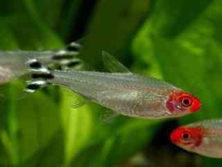 Roodkopzalm - Aquarium vissen