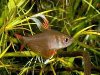 Roze Tetra - Aquarium vissen