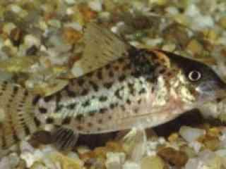 Zilverstreeppantsermeerval - Aquarium vissen