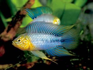 Borellis dwergcichlide - Aquarium vissen