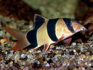 Clownbotia - Aquarium vissen
