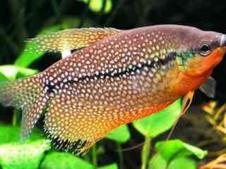 Diamantgoerami - Aquarium vissen