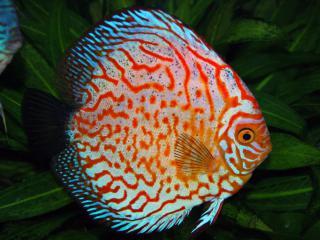 Discusvis - Aquarium vissen