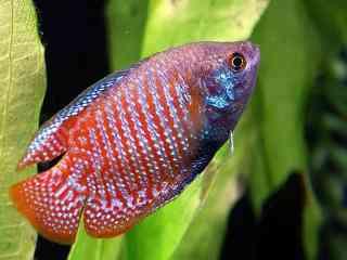 Dwerggoerami - Aquarium vissen