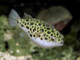 Groene kogelvis - Aquarium vissen