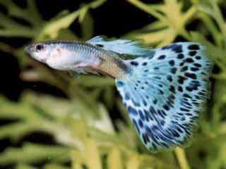 Guppy - Aquarium vissen