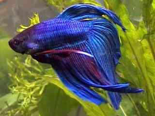 Kempvis - Aquarium vissen