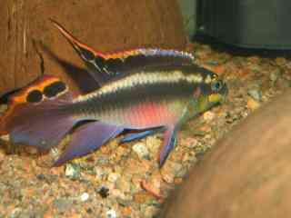 Kersenbuik cichlide - Aquarium vissen