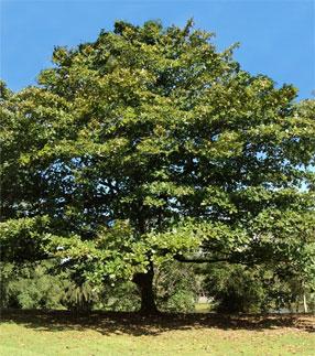 Tropische amadelboom